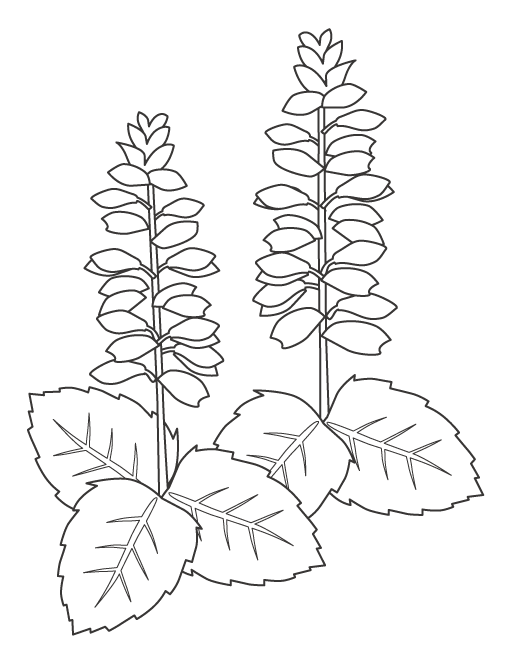 サルビアの花のぬりえ