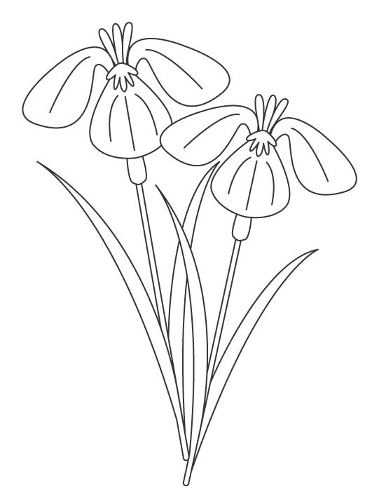 菖蒲(アヤメ)の花のぬりえ