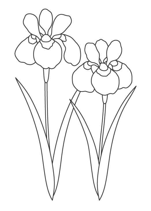 春の花・アヤメのぬりえイラスト