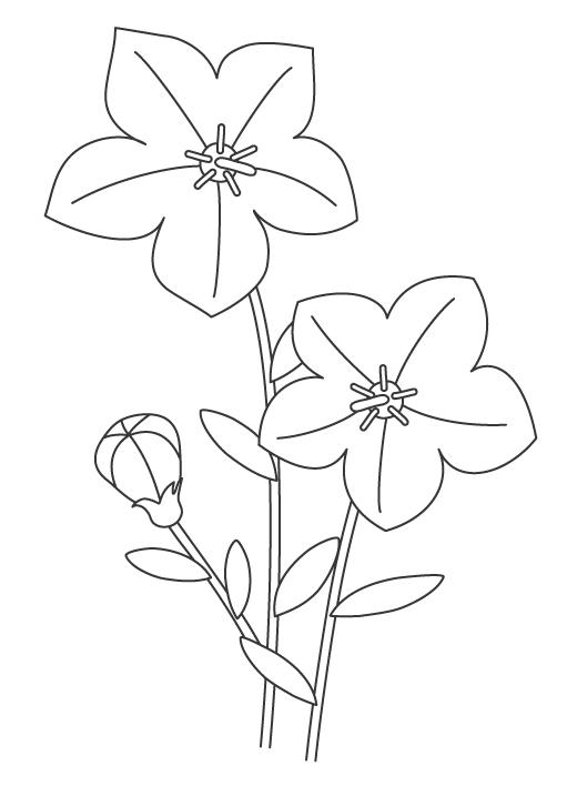 桔梗の花のぬりえイラスト