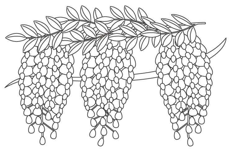 満開の藤(フジ)のぬりえイラスト